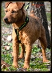PATTERDALE TERRIER.ES